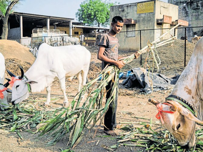 Govt's Hindutva drive imperils meat industry