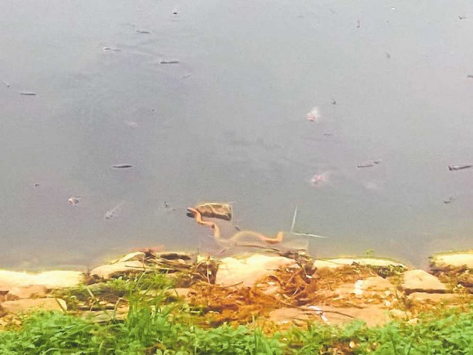 Dead fish, snakes in Chinnappanahalli lake raise a stink
