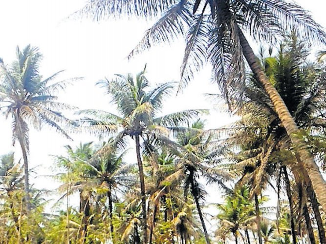 Coconut oil as unhealthy as butter, animal fats: experts