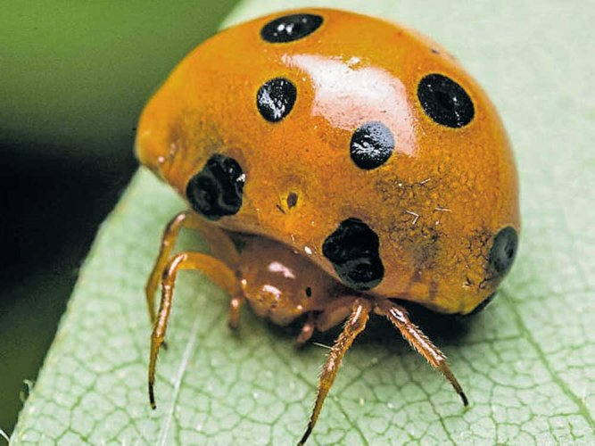 Newly discovered spider species of Western Ghats