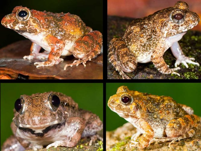 Four new frog species found in the Western Ghats