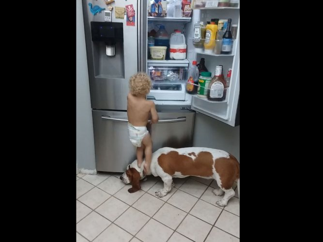 Watch: toodler and dog join forces to raid fridge
