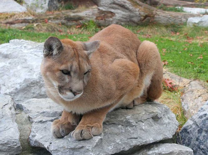 Mountain lions terrified of humans: study
