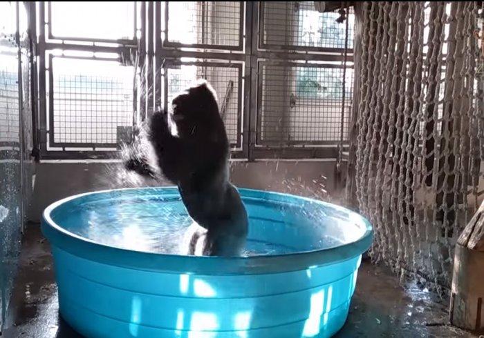 Watch: Gorilla splashes and dances in a tub