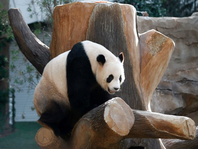 Protecting pandas may save the planet: study