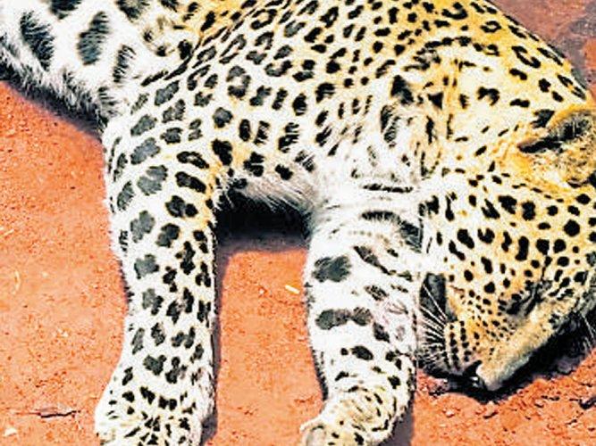 Leopard strays into village, gets killed