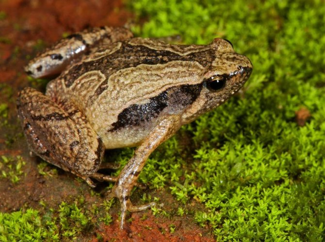 New study reveals how frogs flourished after dinosaurs croaked