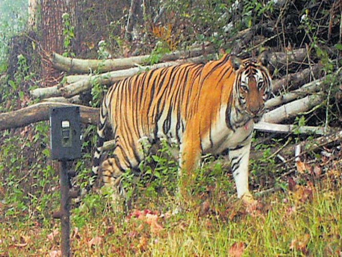 Survey shows tiger population on the rise in Nagarahole forests