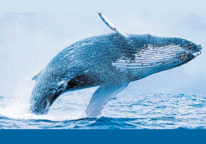 Whaling's 'uncomfortable' scientific legacy