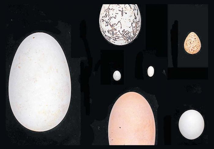 Look to the bird's wings for egg shapes
