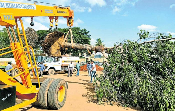 30-ft-tall jamun tree spared the axe, translocated to govt school