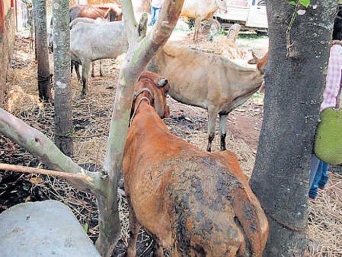 Bovine smugglers kill half-a-dozen cattle in UP