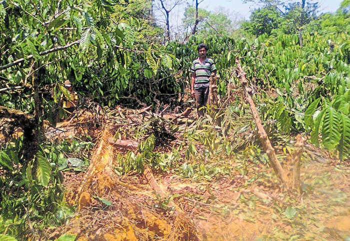 Elephants damage crops at Honnekool
