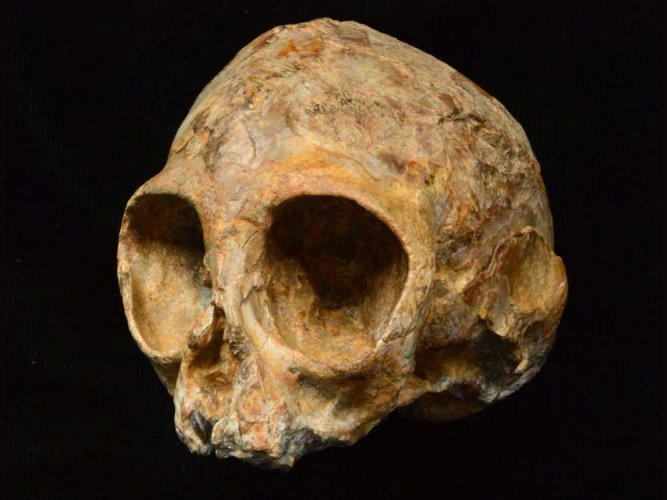 Last common ancestor of humans, apes was smaller than thought