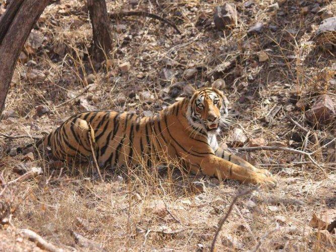 Genetic diversity key to tiger survival