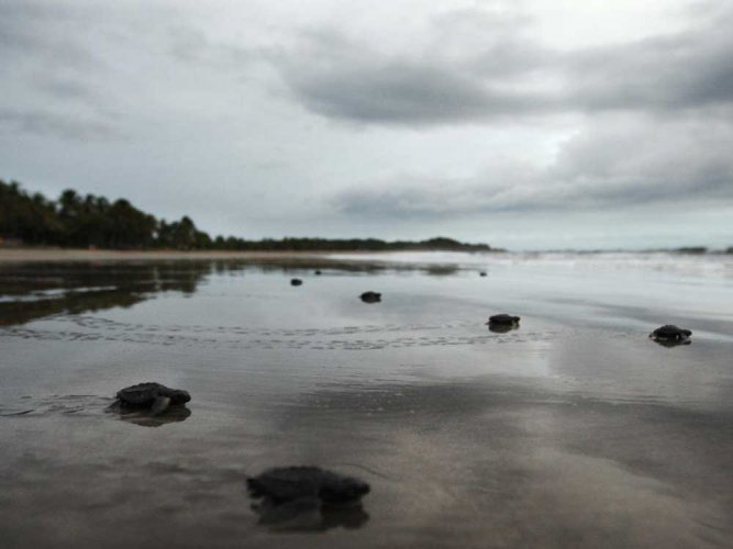 Crash in sea turtle births