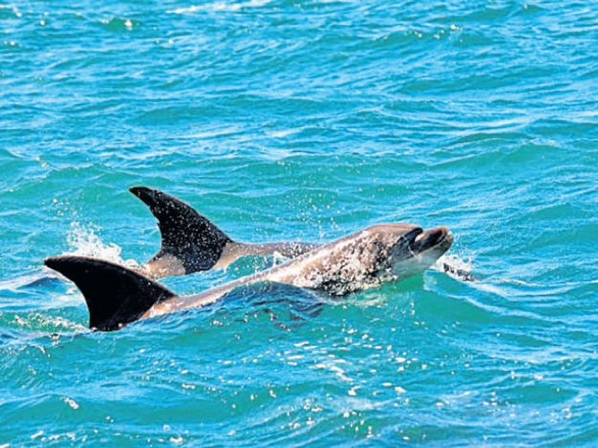 Whales, dolphins have human-like 'cultures': study