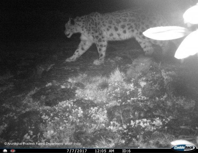 Camera trap survey shows presence of snow leopards in Arunachal
