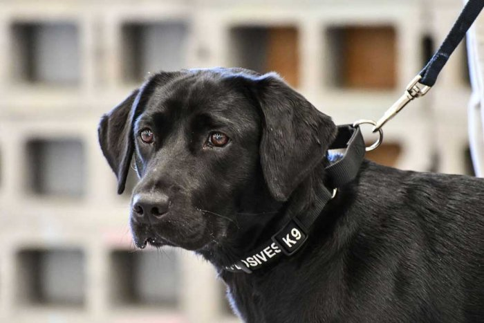 CIA retires bomb squad trainee dog because she lost interest