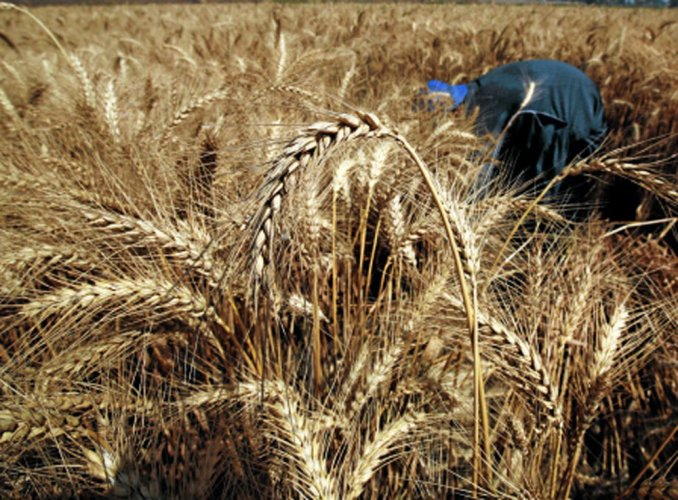 MSP of wheat hiked by Rs 110 per quintal