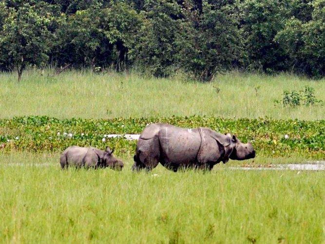 Rhino, calf shot dead in Kaziranga National Park