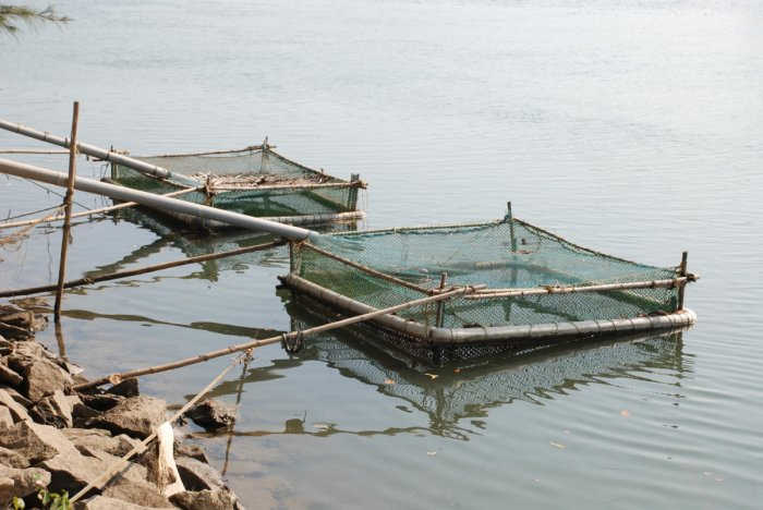500 finfish farming cages in DK, Udupi make 2008 pilot a success story