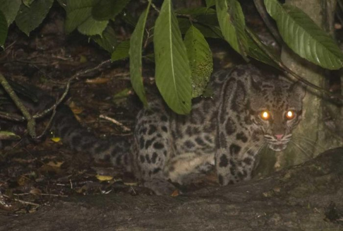 Rare Bornean clouded leopards caught on camera in Malaysian reserve