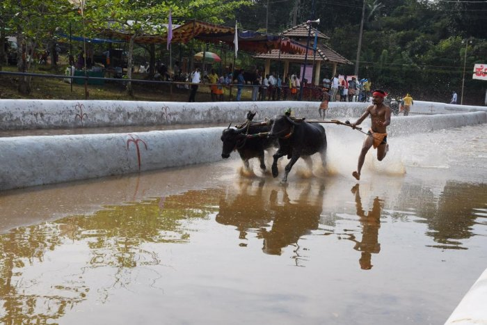 Moodbidri hosts first Kambala after ordinance