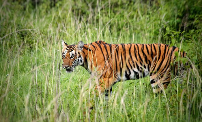 Tigers in south India healthier, to live longer than those in central India