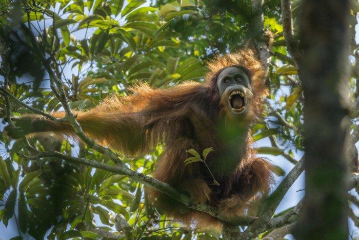 New orangutan also most endangered