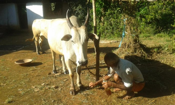 Foot and mouth disease affects cattle in Balige village