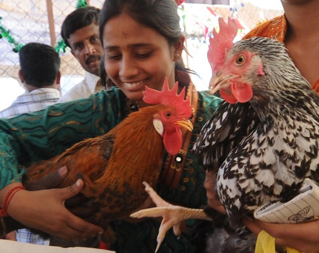 Chicken poop can be used to generate electricity: study