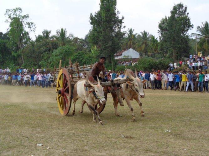 Bullock cart race draws huge crowd
