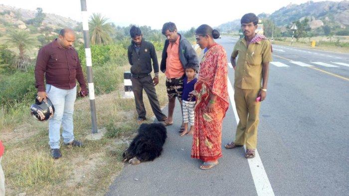 Bear cub run over by unidentified vehicle in Madhugiri