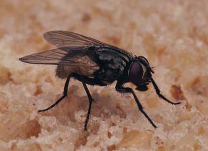 Houseflies spread disease in humans more than we realised: study