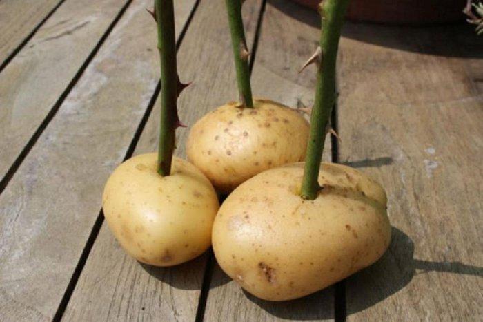 Potato prices slump in Punjab