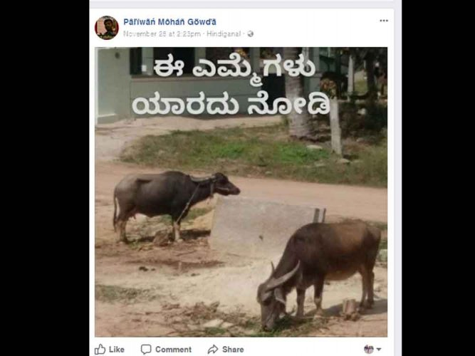 Missing buffaloes reunite with owner through Facebook