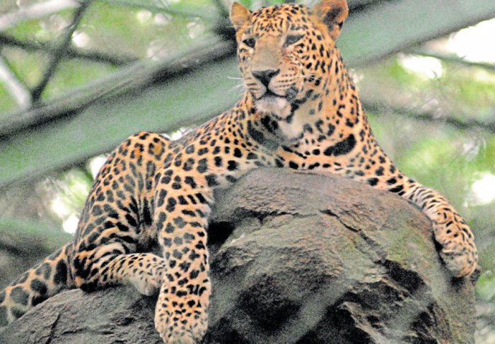 Leopard hit by vehicle near Byadgi, dies