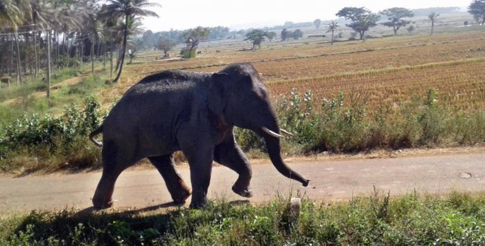 Farmer injured as jumbo menace continues in Davangere district