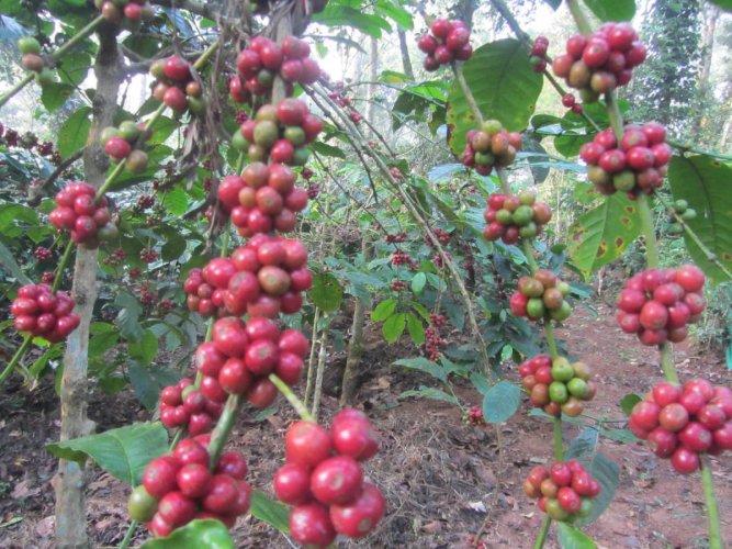 Untimely coffee flowering worries growers