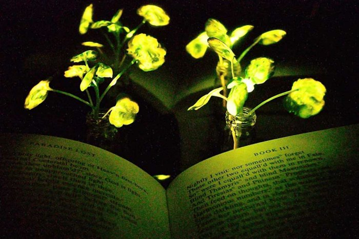 MIT scientists create plants that can glow