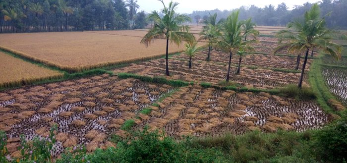 Untimely rain cause damage to standing crops in Gundlupet