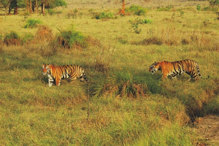 Protecting tigers and their habitats