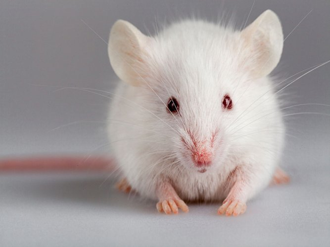 Gene editing technology used to prevent hearing loss in mice
