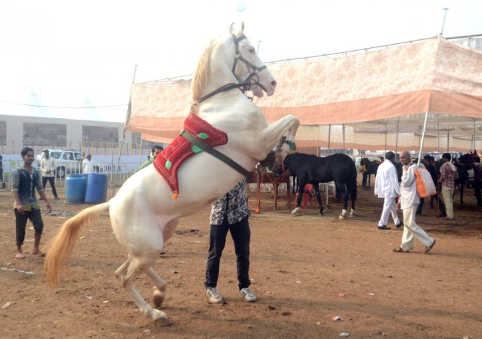 Fillip to biggest festival of horses