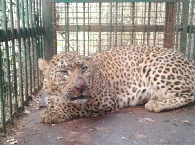 Forest department captures male leopard