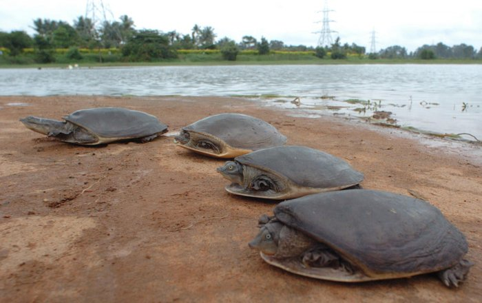 Olive Ridley carcasses found near river mouth in Odisha
