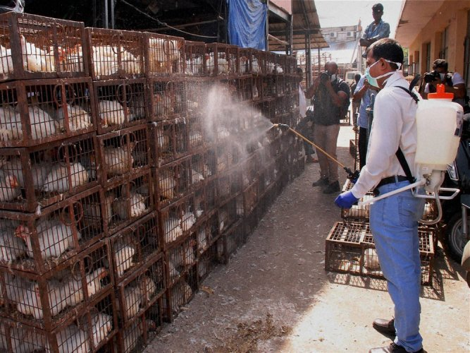 Fresh bout of bird flu hits city