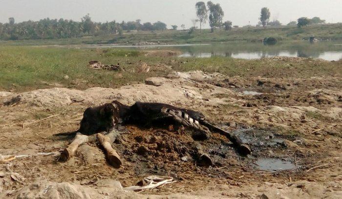 Carcass near Cauvery raises fear of epidemic outbreak