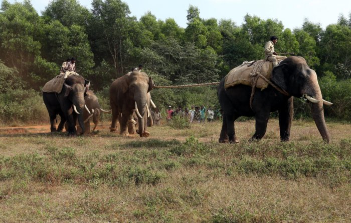 Govt wants elephants sterilised to curb their rising numbers